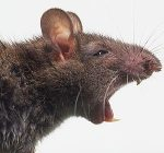 rat.thesunuk